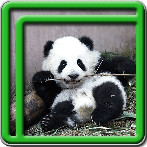 Cute Panda Live Wallpapers