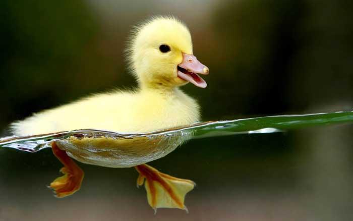 Duckling hd wallpaper