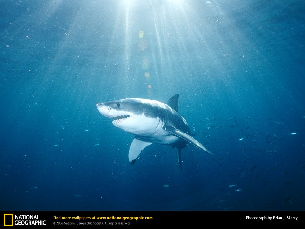 National Geographic Great White Shark Wallpaper