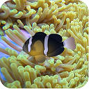 3D Clownfish Live Wallpaper