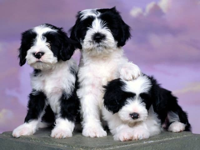 Pretty Puppies Free Screensaver