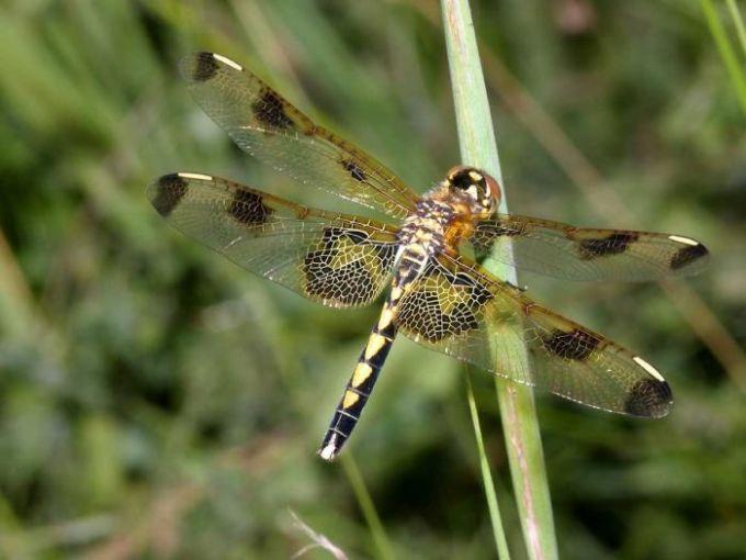 Free Dragonfly Screensaver