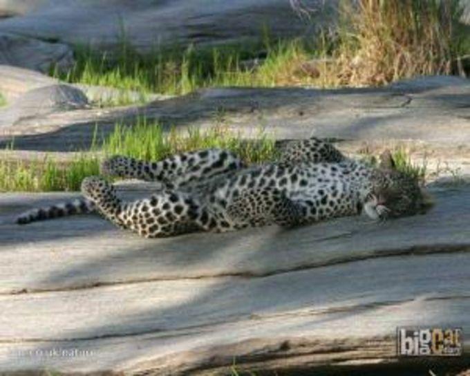 Leopard – Wallpaper der BBC