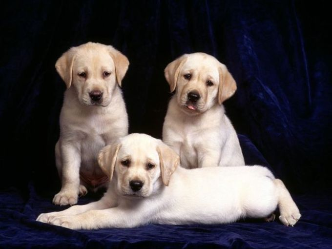 Pretty Puppies Free Screensaver