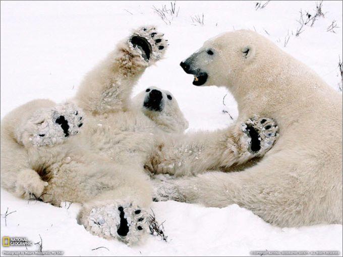 National Geographic Polar Bear Cubs Playing Wallpaper