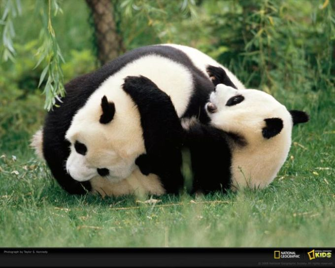 National Geographic Panda Wrestling Wallpaper Descargar