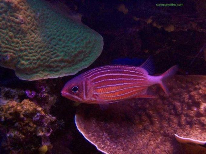 Free Coral Fish Screensaver