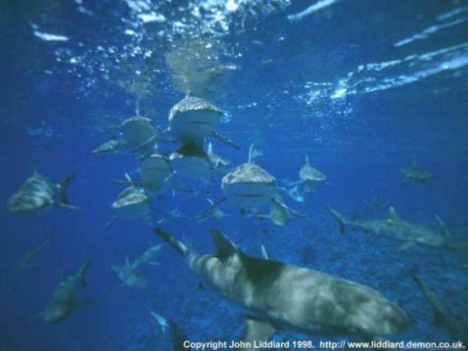 Bikini Sharks Wallpaper