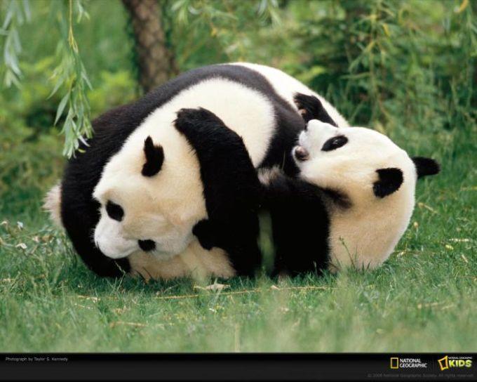 National Geographic Panda Wrestling Wallpaper