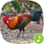 Appp.io - Red jungle fowl crowing