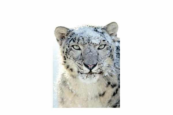 Snow leopard wallpaper for iphone download snow leopard wallpaper ccuart Image collections