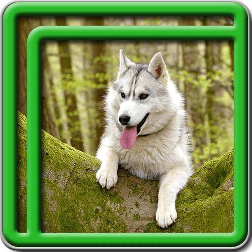 Husky Live Wallpapers