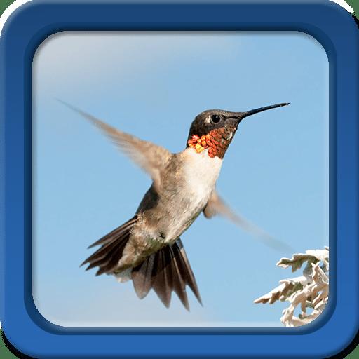 Hummingbirds Live Wallpapers