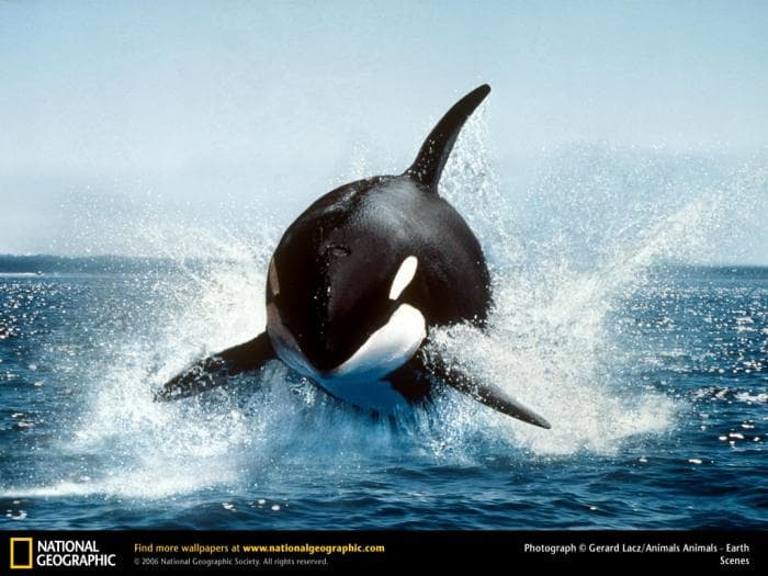 National Geographic Killer Whale Breaching Wallpaper