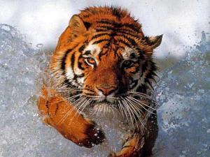 Wallpaper Springender Tiger