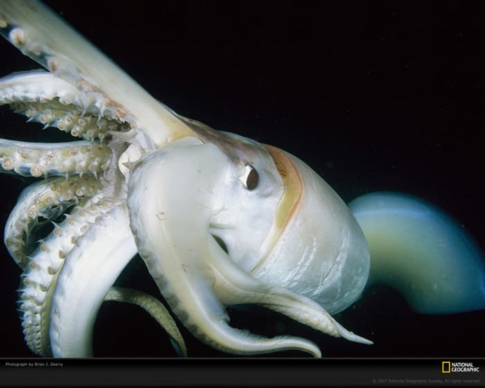 National Geographic Humboldt Squid Wallpaper