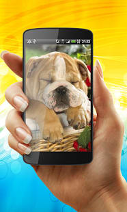 English Bulldog Live Wallpaper
