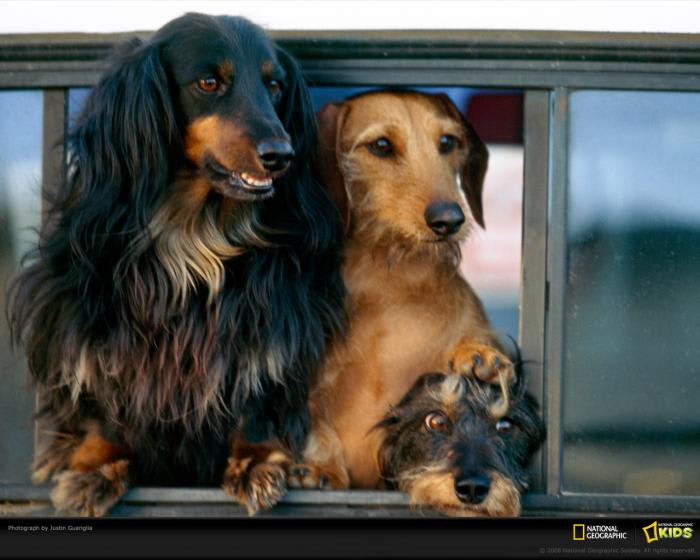 National Geographic Dachshund Wallpaper