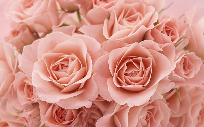 Tema Roses