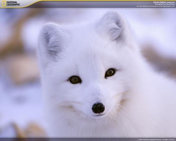 National Geographic Polar Animals Screensaver